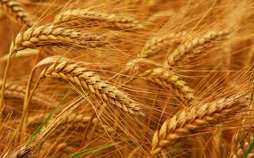 images wheat